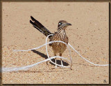 Goat Roping Roadrunner