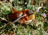 Poor Old  Rufous