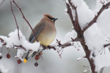 Cedar Waxwing - Hey, it was nice out here yesterday