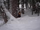 Pine Marten at Snowmass