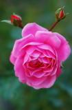 pbase This is the last rose Nov 11 DSC_0938.jpg