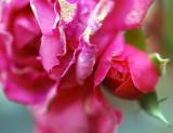 pbase Hope The Last Rose November 17 DSC_0020.jpg