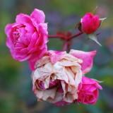 pbase Day 16 the Last Rose  November 22 DSC_0124.jpg