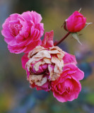 pbase The last Rose Day 17  Novembe 23 DSC_0143.jpg