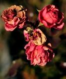 pbase The last rose day 24 DSC_0062.jpg