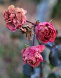 Pbase The Last Rose Final Shot December 5 DSC_0173.jpg