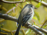 Least Flycatcher- Braithwaite, Louisiana