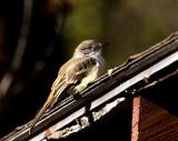 Ash-throated Flycatcher-Carlisle, MA