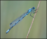 Common Blue Damselfly / Watersnuffel