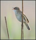 Sedge Warbler / Rietzanger / Acrocephalus schoenobaenus