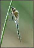 Downy Emerald / Smaragdlibel / Cordulia aenea