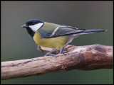Great Tit / Koolmees