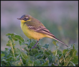 Yellow Wagtail / Gele Kwikstaart