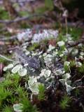 Lichen, Massif-du-Sud