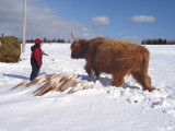 Vache Highland, St-Onésime-d'Ixworth