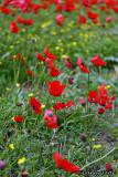 Fields of Windflowers