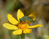 Mason Bee or Metalic Leafcutting Bee Osmia species