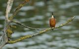 ijsvogel - common kingfisher