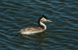 fuut - great grested grebe