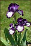 Purple--White-Iris.jpg
