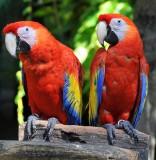 Scarlet Macaws, Xcaret