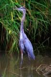 Great Blue Heron, Crocodile River In Carrara Park