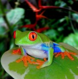 Red Eye Tree Frog, Monteverde Cloud Forest
