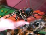 Picking Up New Pet, Butterfly Observatory, La Selva