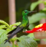 Kolibri On Nectar Feeding, Monteverde Forest.