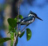 Kingfisher, Tortuguero Selva