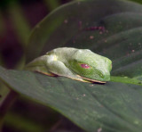 Mysterious Sleepy Frog, Monteverde Cloud Forest