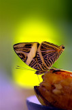 Butterfly Is Festing On Banana, Guapiles