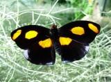 Pretty Butterfly, Monteverde Forest