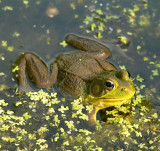 Menacing Frog Gets In To Attack Mode, Tarcol River