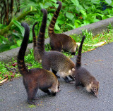 Family Of Coatimundis Guards Their Territory, Arenal National Park