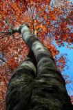 Twisted Beech Tree Colors and Sky v tb1202mr.jpg