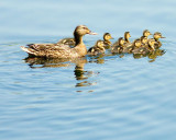 ATK Ducks.jpg