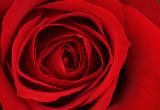 Rose (38376)