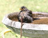 Blackbird Bathtime IMG_5558r