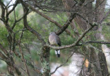 Young Spotted Dove 0267er