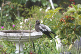 Baby Magpie Bathtime r