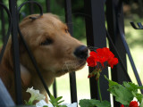 Bella likes to smell the flowers ....... before she eats them .....lol
