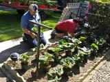 Planting The Begonias.jpg