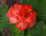 Begonia 2009