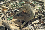 Eastern Chestnut Mouse