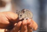 Bolam's Mouse