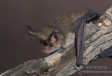 Greater Long-eared Bat