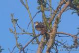 Brown Shrike s2082.jpg