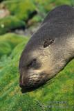 Sub-Antarctic Fur-Seal
