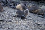 Antarctic Fur-Seal s0427.jpg